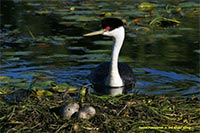 Western grebe tending a floating nest. Photo by Daniel Poleschook, Jr. and Ginger Gumm