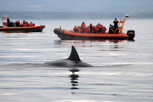 Profits or protection? Killer whales in the San Juan Islands