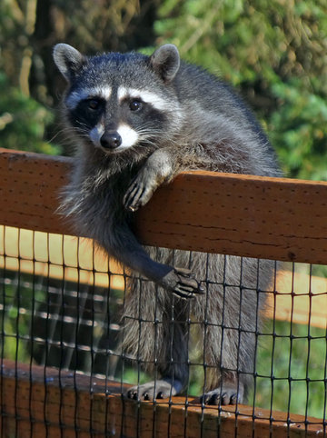raccoon enjoying robert demar 39 s backyard