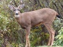 Nov. 28: Learn about the black-tailed deer population in the San Juan Islands