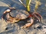 Invasive Green Crab found on San Juan Island by citizen science volunteers